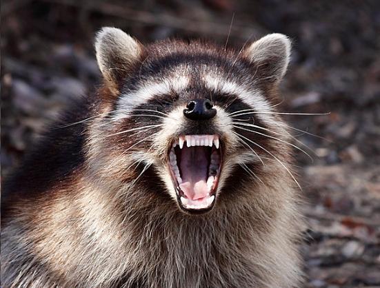 Gangsta Raccoons